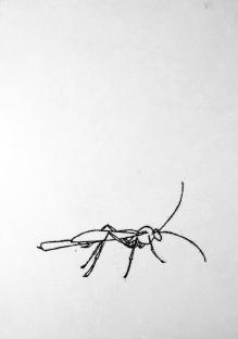 Parasitic wasp. Ink. Monotype. 60cm x 42cm. £400.