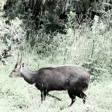 bushbuck-bale-mountains-sera-james-irvine
