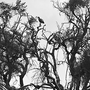 wattled-ibis-bale-mountains-sera-james-irvine-endemic